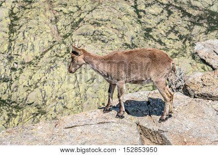 Ibex on top of the rocks. Capra pyrenaica. Regional Reserve Sierra de Gredos Avila.