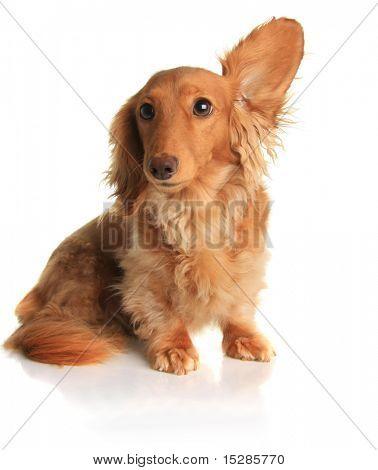 Funny dachshund dog listening to music.