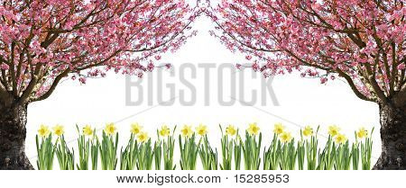 Gorgeous spring blooming cherry trees and daffodils, isolated on white.