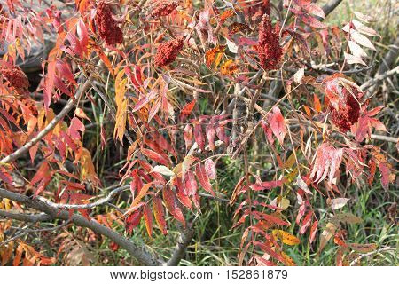 Staghorn Sumac, red fall colored leaves. With red fruit filled cones (bob's)