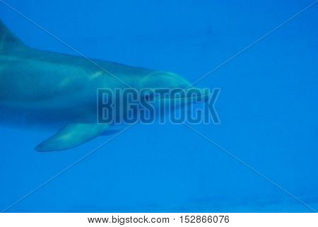 Really cute dolphin swimming underwater in the deep blue.