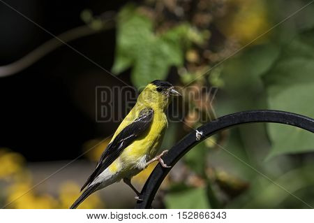 American Goldfinch in winter plumage.  The American goldfinch, also known as the eastern goldfinch or lightning bird, is a small North American bird in the finch family.