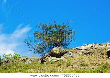 Hawthorn (lat.Crataegus) grows on top of the mountain.
