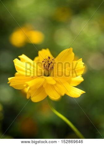 Yellow, Cosmos flowers (Cosmos Bipinnatus) with blurred background. soft focus.