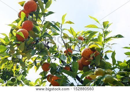 Ripe mandarin on the branches of a tree