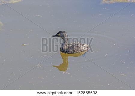 Least Grebe in a Wetland Pond in Laguna Atascosa Wildlife Refuge in Texas
