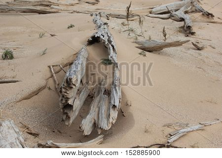 A log in the sand in a ghost forest. Sleeping Bear Dunes National Lakeshore, Michigan