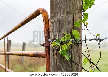 View of ivy on barbed wire along fense post with rusty gate in the background. cloudy rainy day.
