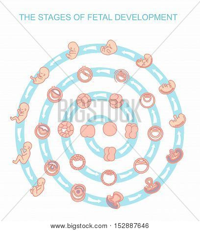vector illustration stages of fetal development. isolated on white background. Pregnancy. Fetal growth from fertilization to birth, fetus development. Embryo development.