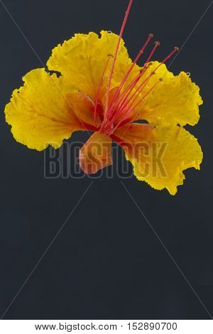 Red bird of paradise blossom is isolated with black copy space below. Details are visible in botanical photograph.