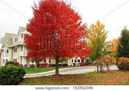 red autumn tree and apartment building for design