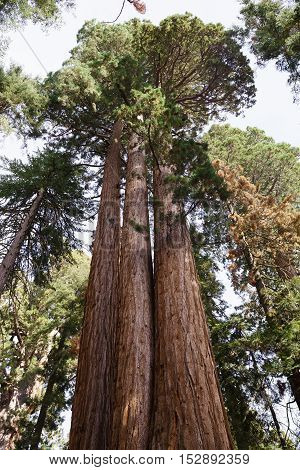 Sequoia Tree in Sequoia National Park with sky