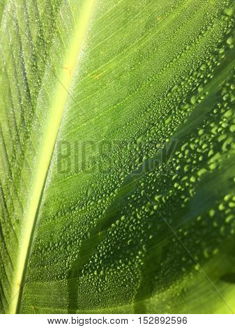 Wet green macro canna leaf. Up close and water droplets included.