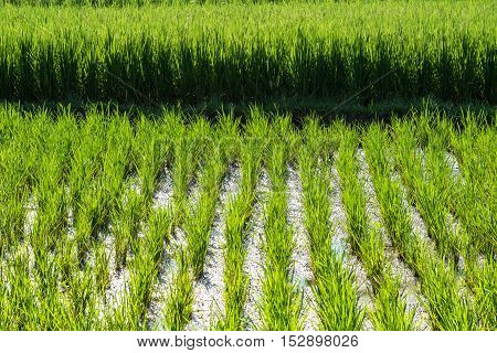 Rice growing in a paddy in Ubud, in Bali, Indonesia.