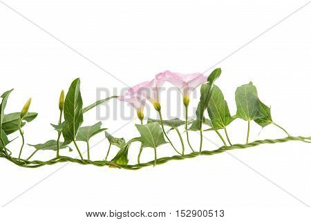 Bindweed flowers isolated on a white background.