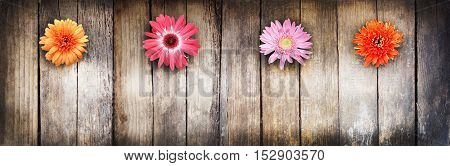 Wooden texture and flowers. There is room for text. Flowers gerbera. Multicolored.