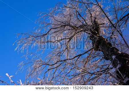 Crohn's tree in the snow against the blue winter sky.
