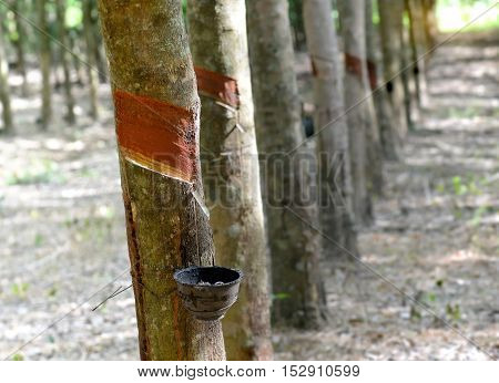 The Rubber Trees Industry Farm