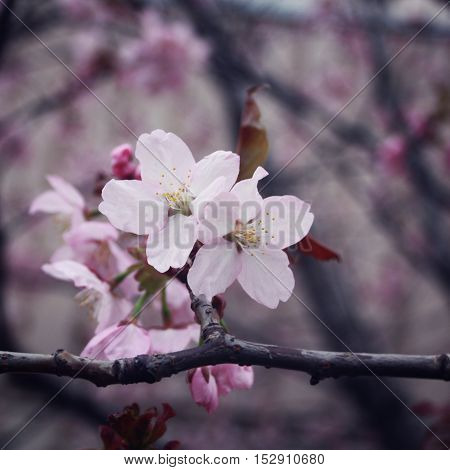 Blossoming sakura flowers in a spring season. Aged photo. Floral bloom background with copy space area. Sakura Blossom Time. Cherry flowers. Retro filter photo. Vintage effect.