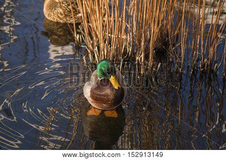 Close up of a relaxing mallard duck at sunset . Mallard Ducks