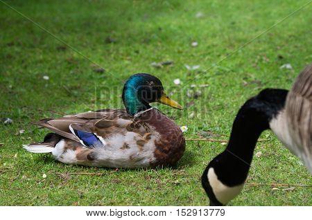 Close up of a relaxing mallard duck. Mallard Ducks