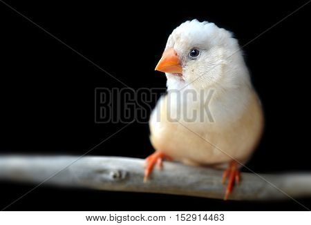 Light Cream Color Zebra-finch Bird
