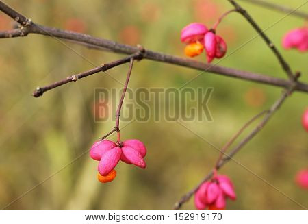 close photo of bright pink and orange fruits of common spindle in autumn