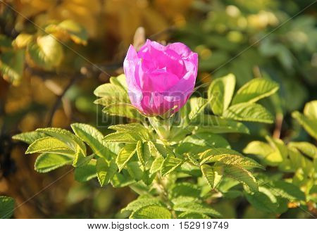 beautiful pink bloom of common medlar (Mespilus germanica)