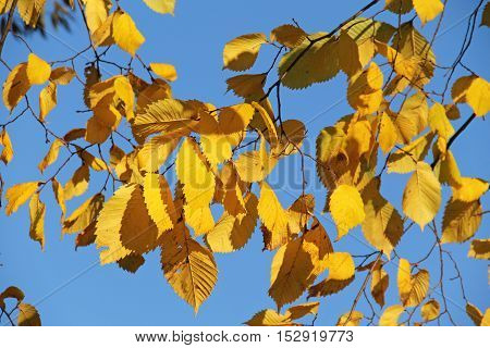 twigs of alder with bright yellow leaves and blue sky