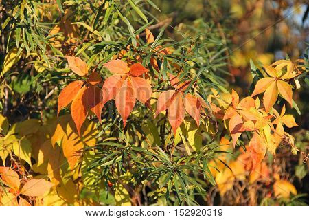 colorful leaves of woodbine growing on the branch of tree