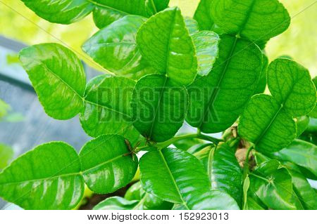 benefits of kaffir lime leaves, good oral health , Detoxify the Blood