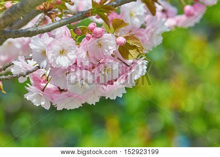Blossom of Sour Cherry in the Spring