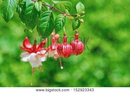Fuchsia Hybrida Flowers over the Green Background (Shallow DoF)