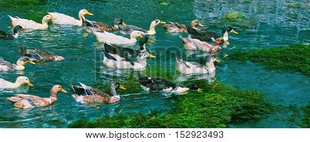 Ducks (Anas Platyrhynchos) Swimming Down the River