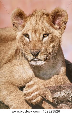 Image of Close up Portrait of Young Lion