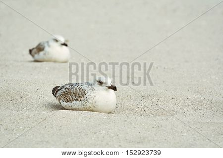 Two Nestlings of Seagull Resting on the Sand