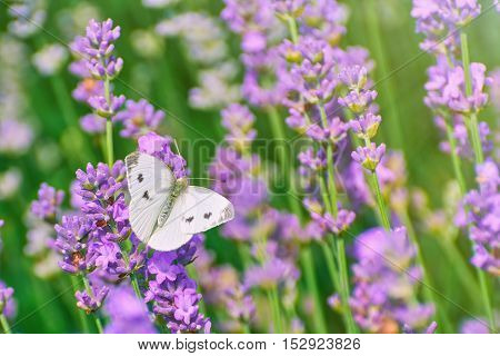 Cabbage White Butterfly on the Lavender Flower