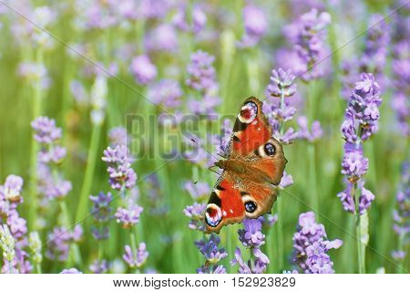 Beautiful Peacock Butterfly on the Lavender Flower
