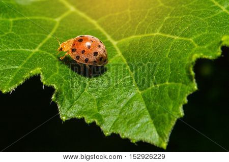 Ladybug Or Ladybird Or Lady Beetle Or Coccinellidae  Sitting On A Green Leaf With Sun Light, Macro