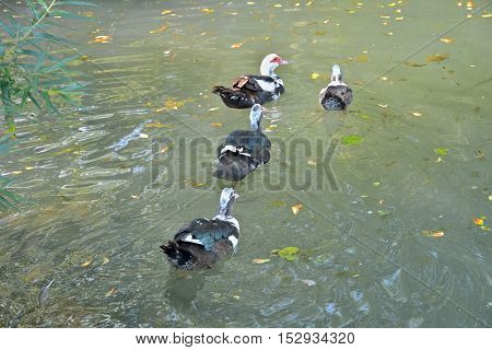 The musk ducks swimming on pond. Russian Far-East.