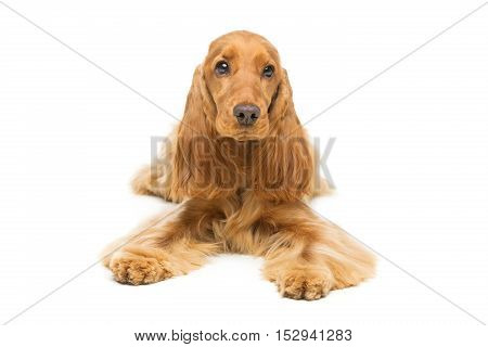 Portrait of beautiful young brown cocker spaniel dog lying over white background. Studio shot. Copy space.