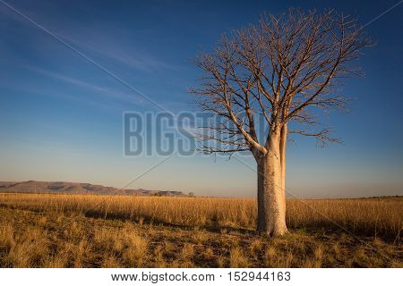 This isolated Boab stood high and proud on the flats on the Western side of the Penetcost River on Home Valley Station.