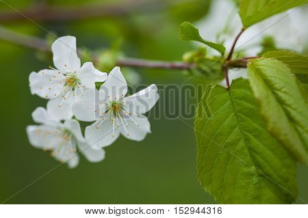 White spring flowers. Spring blossoming of an apple-tree. Spring blossoming of cherry. The blossoming apple-tree. The blossoming cherry. The blossoming apricot.