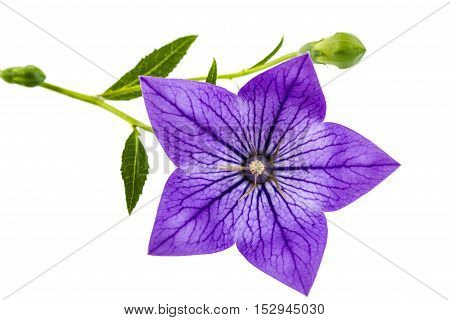 Purple flower of Platycodon (Platycodon grandiflorus) or bellflowers isolated on white background