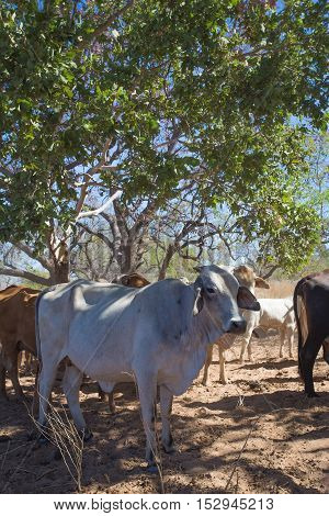 A Brahmin cow shelters in the shade of a tree on El Questro Station near the Gibb River Road in the remote and rugged Kimberley Region of Western Australia.