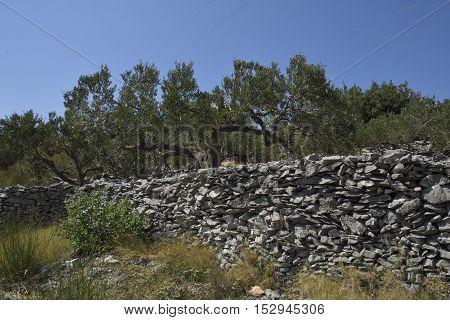 Stone wall and olive tree in a olive field on Island Brac in Croatia.
