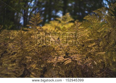 Thickets of fern in the autumn forest