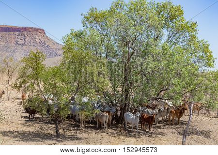 A herd of Brahmin cattle shelter in the shade of a tree at the foot of the Cockburn Ranges, on El Questro Station in the Kimberley Region of Western Australia.