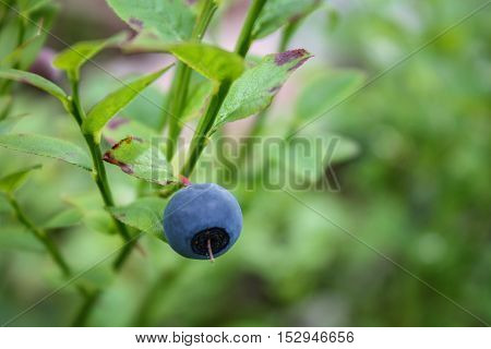 Close-up of single blueberry on wild growing blueberry plants
