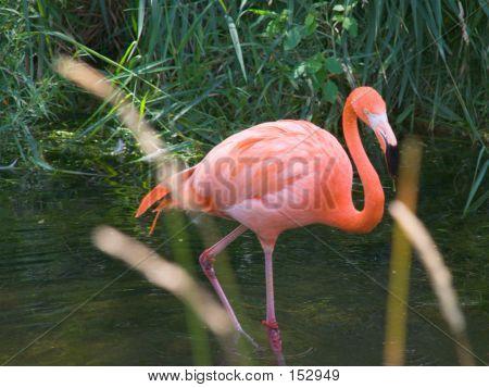 Flamingo Walking Through Water